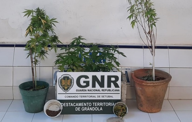 Homem detido em Grândola por cultivo de canábis