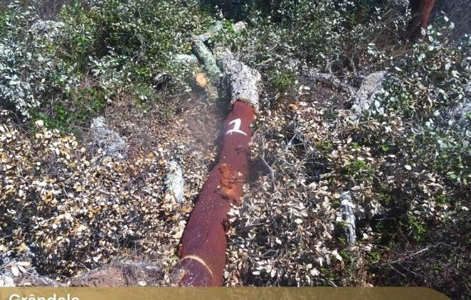 GNR detetou abate ilegal de cerca de 300 sobreiros em Grândola